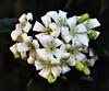 Murraya (Pamela Jay) Tags: murraya mockorange shrub garden flora white pamelajay australia