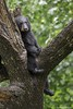 Black Bear (james white Photo) Tags: ursusamericanus blackbear bear wet tree green minnesota usa