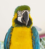 Uncle Sandy's1 (seanchickery) Tags: macaw blue gold birds uncle sandys