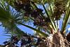 Fächerpalme mit Früchten, vermutlich Washingtonia robusta; Luz (Lagos), Algarve (5) (Chironius) Tags: luz algarve portugal commeliniden palmenartige arecales palmengewächse arecaceae laub frucht fruit frutta owoc fruta фрукты frukt meyve buah