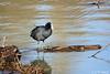 Foulque macroule et son paddle :-) (jean-daniel david) Tags: oiseau oiseaudeau lac lacdeneuchâtel bois paddle noir reflet eau
