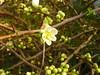 Zierquitte Blütenstart (Jörg Paul Kaspari) Tags: trier weberbach chaenomeles japonica ´nivalis´ weis weise blüte flower white alba zierquitte japanische frühblüher winterblüher