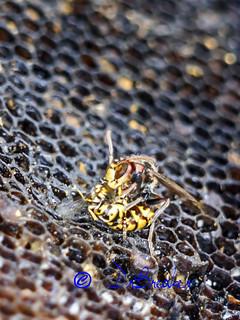 A vespa crabro is fighting.