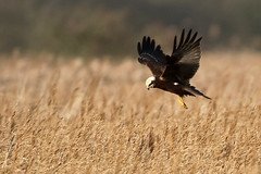 Marsh Harrier locked onto its prey (Karen Roe) Tags: naturereserve nature reserve county england britain uk unitedkingdom greatbritain gb canoneos760d canon 760d 150600mm sigma zoom wildlife hide 2017 peaceful quiet tranquil outside winter weather season camera photography photograph photographer picture image snap shot photo karenroe female flickr visit visitor rspb royal society protection birds member strumpshawfen norfolk december marshharrier bird flight birdofprey raptor