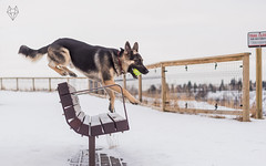 Amiguitos Canadienses (Rodrigo Basaure) Tags: approved dog dogs friendship friends pets son snow play playing enjoy life jump meet share rodrigobasaure photography petphotography action fun