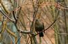 Merle noir (JeanJoachim) Tags: merlenoir turdusmerula commonblackbird passeriformes turdidae oiseau bird vogel aves uccello fågel fugl pássaro バード lintu птица ptak amsel pentaxk10d takumar135200mm