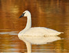 Trumpeter Swan (Chris Parmeter Photography) Tags: swan trumpeter bird water reflection sunrise canon 5dsr 500mm 14x tc