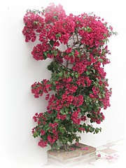 Bougainvillea Wall! ('cosmicgirl1960' NEW CANON CAMERA) Tags: marbella spain espana andalusia costadelsol flowers worldflowers bougainvilleas parks gardens nature travel holidays yabbadabbadoo