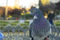 Paloma (Carmen D.R) Tags: paloma ave sevilla parque vida color canon 60d