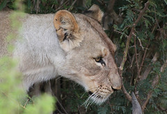 South Africa, Entabeni (s11_8) Tags: entabeni nature gamereserve scenic lion lioness lions