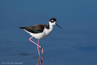 Black-necked Stilt ©