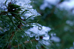 fading (nelesch14) Tags: macro drop winter nature needle snow ice melting bokeh