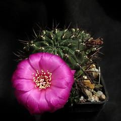 Sulcorebutia steinbachii var. horrida G118 '487' (Pequenos Electrodomésticos) Tags: cactus cacto flower flor sulcorebutia sulcorebutiasteinbachiivarhorrida