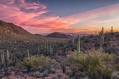 Saguaro Sunset (Kirk Lougheed) Tags: arizona carnegieagigantea pimacounty saguaro saguaronationalpark saguarowest sonorandesert tucsonmountaindistrict usa unitedstates cactus desert landscape nationalpark outdoor park plant sonoran sunset