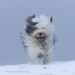 snow run (dewollewei) Tags: scarlett oes bobtail dewollewei sophieandsarah oescn bos oldenglishsheepdog oldenglishsheepdogs winter snow white run cold freeze happy dogs
