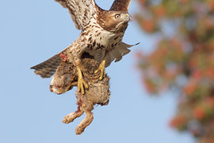 Catch du jour! (bmse) Tags: bmse salah baazizi wingsinmotion canon 7d2 400mm f56 l redtailed hawk rabbit carcass food southern california
