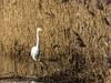 0T4A0428 (2) (Alinbidford) Tags: alancurtis alinbidford brandonmarsh greatwhiteegret wildbirds
