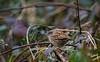 Accenteur mouchet (JeanJoachim) Tags: accenteurmouchet prunellamodularis dunnock hedgesparrow passeriformes prunellidae oiseau bird vogel aves uccello fågel fugl pássaro バード lintu птица ptak pentaxk5ii smcpentaxda300mmf4edifsdm heckenbraunelle domainedesoiseauxdemazères