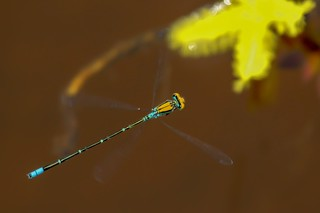 Gold-fronted Riverdamsel