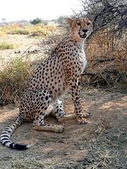 20170929_092228 (dieter.schultheiss) Tags: namibia naankuselodge erindigamelodge sossusvlei swakopmund safari cheetah lion gepard oryx dunes gamelodge elephant elefant wilddog wildhund gnu zebra crocodile krokodil sanbushmen buschmänner deadvlei solitaire namibianaankuse lodgeerindi game lodgesossusvleiswakopmundsafaricheetahliongepardoryxdunesgame lodgeelephantelefantwild dogwildhundgnuzebracrocodilekrokodilsan bushmenbuschmännerdead vleisolitaire