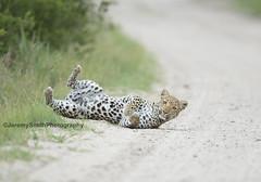 African Leopard, Panthera pardus pardus, Hwange National Park, Zimbabwe (Jeremy Smith Photography) Tags: leopard pantherapardus panthera africanleopard hwangenationalpark bigcats jeremysmith jeremysmithphotographycouk jeremysmithphotography safari wildlife zimbabwe zimbabwesafari africansafari