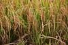 IMG_0477 (Kalina1966) Tags: bali island indonesia people rice field