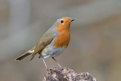 Robin (KHR Images) Tags: robin erithacusrubecula wild bird ukfavouritebird lackford lakes suffolk wildlife nature nikon d500 kevinrobson khrimages