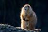 Prairiehondje | Diergaarde Blijdorp Rotterdam (Marjan van de Pol) Tags: 5dmarkiv blijdorp canon canon5d rotterdam prairiehondje fave favorite faved zoo