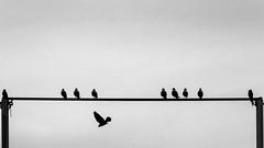 delicate balance  / taking side ... (Özgür Gürgey) Tags: 169 2018 70300mm bw büyükçekmece d750 nikon balance bar birds contrast flying grainy minimal silhouettes istanbul