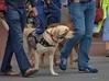 In The Crosswalk (Scott 97006) Tags: walk streeet crossing dog canine animal jeans cute leash
