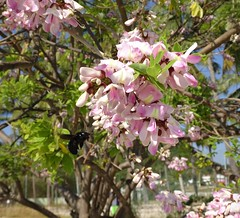 Arbre en fleurs <> Tree with blossoms ( MEX) (France-♥) Tags: 238 fleur lacruz mexique arbre tree nature bokeh bug insecte blossom pink xylocope carpenterbee bee gliricidia treeofiron stvincentplum