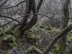 Hidden2 (daverichards4819) Tags: dusk hidden tree winter cold damp muted colours moss flint dead leaves snow rain thetford forest norfolk uk