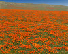 Poppy Meadow (James L. Snyder) Tags: eschscholziacalifornica copadeoro laamapola flameflower californiapoppies poppies poppy perennial herb blossoms blossoming blooming wildflowers flowers butte hills valley plain field meadow grassland highdesert ranch native flat vernal arid dry rural country natural remote orange gold golden red green tan intense vibrant colors colorful sunlight frontlighting bright bluesky clear 140thstreetwest avenueg fairmont antelopebuttes antelopevalley mojavedesert lancaster losangelescounty california usa horizontal afternoon april spring 2017