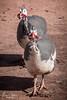 20180123-006-12 Mile House-Flickr.jpg (Brian Dean) Tags: emily wa caravaning 2018tour housesitting facebook 12mile flickr slideshow broome birds guineafowl