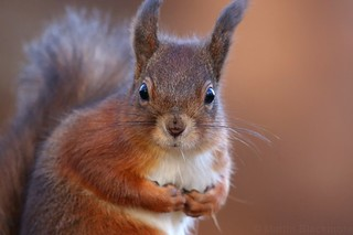 Red Squirrel 6960(6D3)