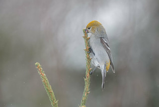 Pine Grosbeak fem