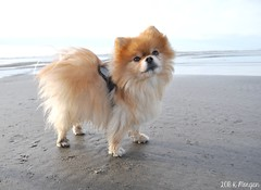 2.12.2018 Leo (kmmorgan1977) Tags: geminisleothelionhearted pomeranian 2018 sunsetbeach ocean oregon 12mfd2018 12mfd 12monthsfordogs18 dogs february winter