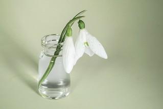 Snowdrops in a Bottle