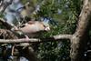 Hawfinch-173 (davidgardiner8) Tags: birds finches godmersham hawfinch kent
