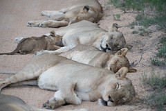 Pride of Lions with cub suckling (Jim Nicholson) Tags: lion lioness nikon d850 nikond850 nikkor80400mmf4556 za southafrica kruger thornybush pantheraleomelanochaita pantheraleo big5
