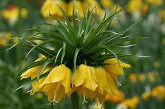 A crown of tulips (Violet aka vbd) Tags: pentax k3 vbd hdpentaxda55300mmf4563edplmwrre flower tulip germany isleofmainau konstanz yellow bokeh handheld 2017 spring2017 flowers fritillariaimperialis