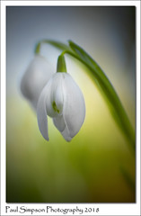 January 2018 Snowdrop (Paul Simpson Photography) Tags: paulsimpsonphotography january2018 snowdrop snowdrops flowers flower spring winter nature naturalworld imagesof imageof photoof photosof whiteflowers sonya77 sonyphotography normanbypark dof petals naturephotography beautifulnaturephotos colorfulphotos colourfulphotos stem plant galanthus herbaceous