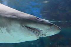 Shark Above (Bri_J) Tags: blueplanet aquarium ellesmereport cheshire uk water nikon d7200 shark fish teeth nose