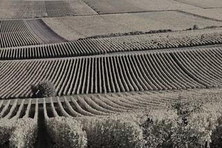 vignes de Champagne (Aube)