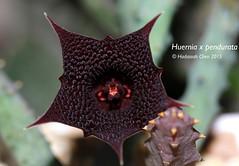 Huernia x pendurata (Wonder Kitsune) Tags: huernia asclepiadaceae asclepiads asclepiad apocynaceae succulentplant succulent carrionflower cactiandsucculents maroonflowers goth