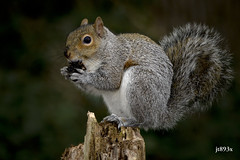 Squirrel (jt893x) Tags: 150600mm d500 graysquirrel jt893x nikon nikond500 rodent sigma sigma150600mmf563dgoshsms squirrel thesunshinegroup coth alittlebeauty coth5