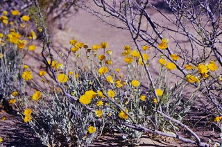 Desert Baileya (Baileya multiradiata)