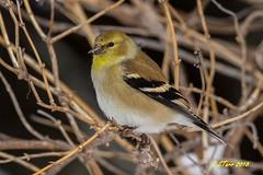 IMG_8248 gold finch (starc283) Tags: gold starc283 wildlife canon canon7d finch flickr flicker bird birds birding goldfinch americangoldfinch outdoors outdoor winter