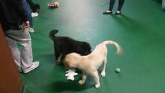 21314815_10213821401116154_3886232750497662736_n (natedetienne) Tags: ash tibetan mastiff puppy tm