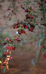 _MG_3210.CR2 (jalexartis) Tags: winter winterberries pyracantha firethorn firethornpyracantha pyracanthaberries lighting